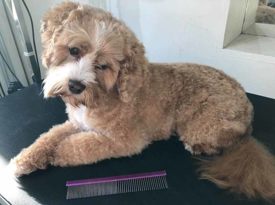 mount lawley pets and puppies cavoodle