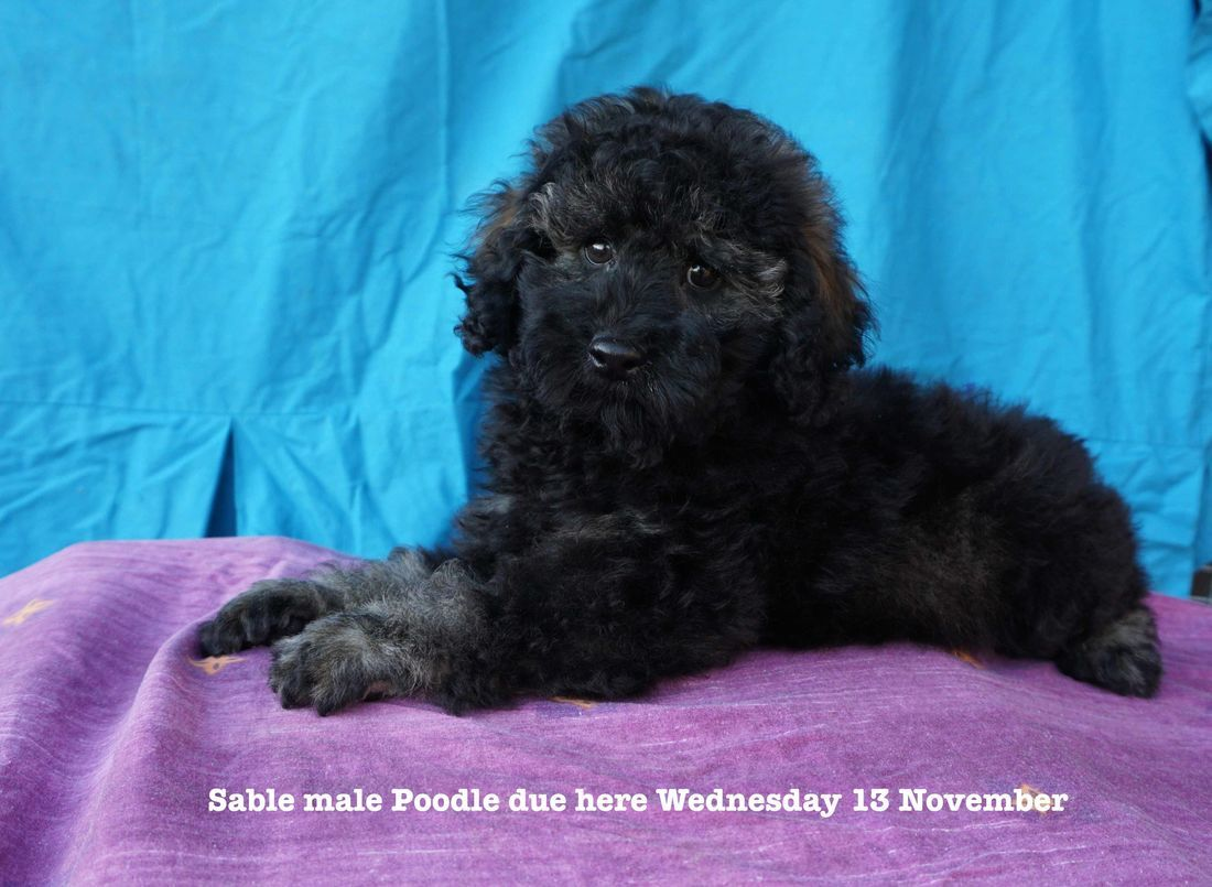 mount lawley pets and puppies poodle