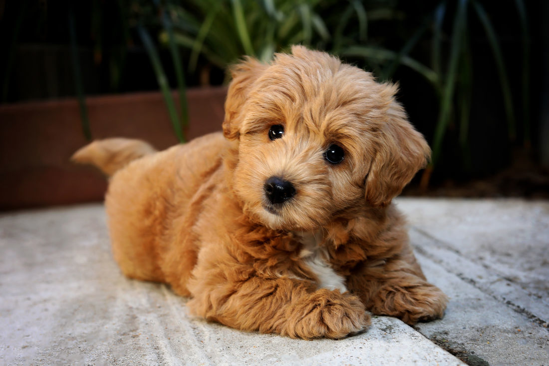 Pets And Puppies For Sale Mount Lawley Pets And Puppies